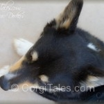 Bird's Eye View of Dockers the Corgi
