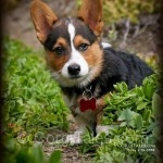 National Puppy Day 2012 - My Corgi Puppy: Cody!