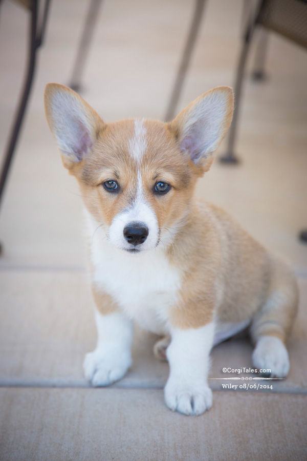 Wiley 08/06/2014 | CorgiTales.com