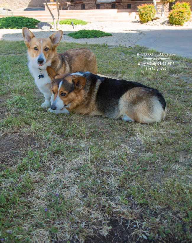 Wiley and Cody: The Corgi Duo 04-03-2015