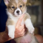 Wiley Turns 1 Year Old Today on Corgi Tales