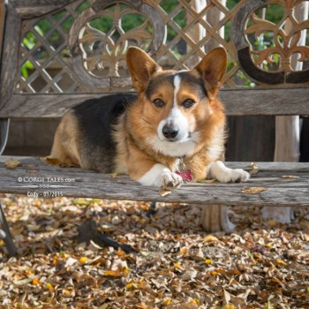 Corgi in Autumn Colors feat Cody - Corgi Tales