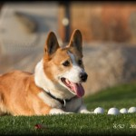 52 Weeks of Corgis in 2010: Week 6/52 - Corgi Golf Ball Shagger