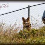 """52 Weeks of Corgis in 2010: Week 15/52 – Cody """"Wild Grass"""""""