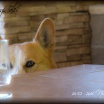 "52 Weeks of Corgis in 2010: Week 16/52 – Nikita ""I Spy Wine"""