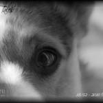 """52 Weeks of Corgis in 2010: Week 18/52 – """"Cody's Eyes To The Soul"""""""