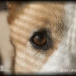 "52 Weeks of Corgis in 2010: Week 18/52 – ""Niki's Eyes To The Soul"""