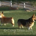 The Corgi Duo