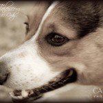 Cody - Canis lupus familiaris - Cody
