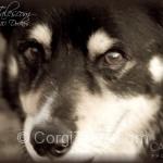 Dockers - Canis lupus familiaris