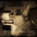 Cody's Corgi Profile