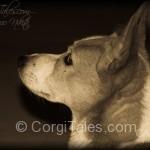 Nikita's Corgi Profile