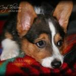 Sentimental Corgi Puppy Flashback