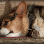 Sweet Dreams Corgi