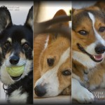 The Many Faces of a Corgi