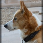 The Corgi Profile