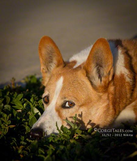 Corgi Waiting for Spring