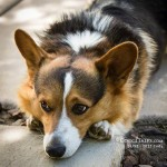 "A Corgi Version - ""The Thinker"""