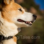 The Beautiful Corgi Profile - My Niki's