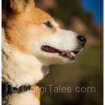 The Beautiful Corgi Profile - My Niki's