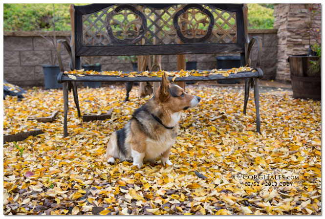 Cody & Winter Yellow Leaves from CorgiTales.com