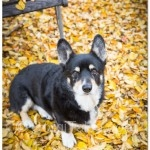 Dockers Amongst Yellow Winter Leaves from CorgiTales.com