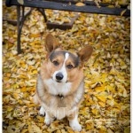 New Year's Eve Greetings from Corgi Tales