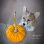It's A Pumpkin, Wiley!