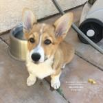Wiley – A Corgi Pup!