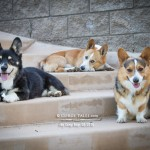 Bittersweet – The Corgi Boys pack