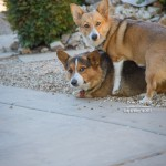 Corgi Play on Corgi Tales®