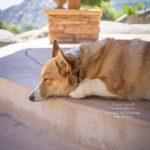 Lazy Summer Days and Corgi Naps